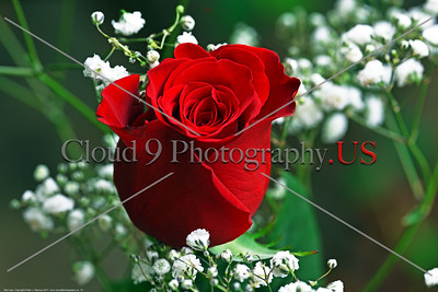 FLOWER-Red Rose 0015 A beautiful red rose, by Peter J  Mancus      DONEwt