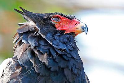 Bateleur Eagle 00012 by Peter J Mancus