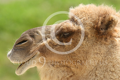 AN - Camel 00102 by Peter J Mancus
