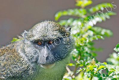 Allen's Swamp Monkey 00062 by Peter J Mancus