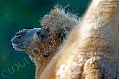 Camel 00003 by Peter J Mancus