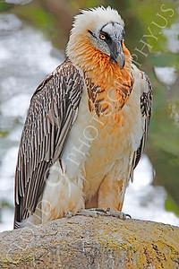 Eurasian Bearded Vulture 00007 by Peter J Mancus