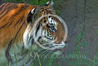 AN - Bengal Tiger 00610 by Peter J Mancus