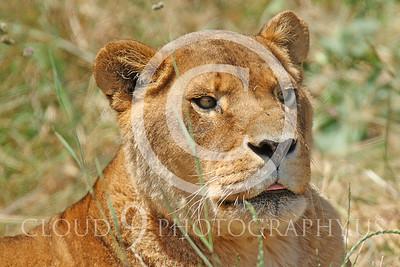 AN - Lion 01006 by Peter J Mancus