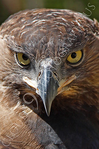 Crowned Eagle 00029 by Peter J Mancus
