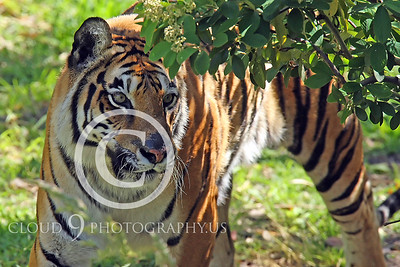 AN - Bengal Tiger 00562 by Peter J Mancus