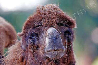 Camel 00001 by Peter J Mancus