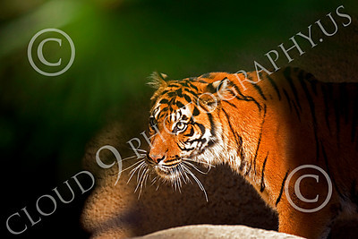 Bengal Tiger 00034 Walking Bengal tiger framed by palm leaf in a spot of light by Peter J Mancus