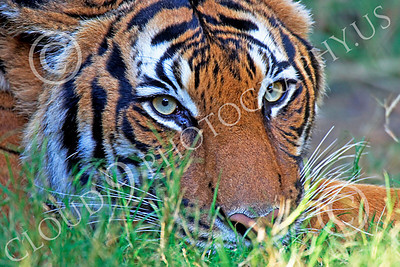 Bengal Tiger 00033 Close up of a Bengal tiger's head when at rest low in vegetation by Peter J Mancus