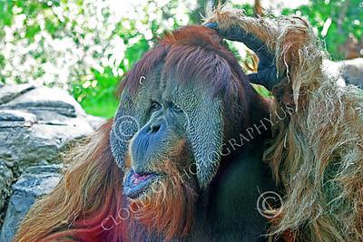 Orangutan 00028 Close up portrait of a mature male orangutan scratching his head, by Peter J Mancus
