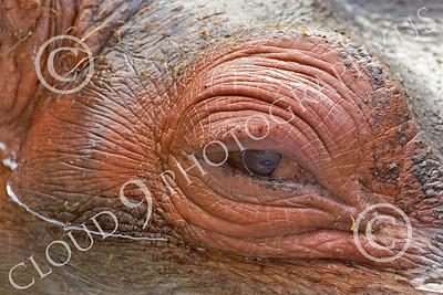 Hippopotamous 00004 Close up of a hippopotamous' eye, by Peter J Mancus