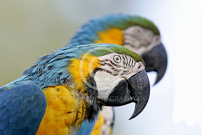 Blue-and-Yellow Macaw 00012 Beautiful blue-and-yellow macaws by Peter J Mancus