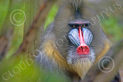 Mandrill 00036 An adult male mandrill, by Peter J Mancus