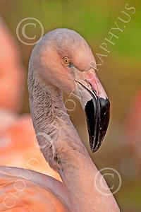 Flamingo 00013 Standing flamingo, by Peter J Mancus