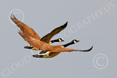 Canada Goose 00007 Canadian geese in flight by Peter J Mancus