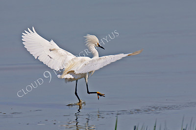 Egret 00011 Egret simulates walking on water by Peter J Mancus
