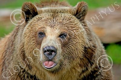 Grissly Bear 00009 A hefty adult grissly bear, by Peter J Mancus