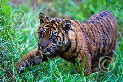 Bengal Tiger 00170 Playful Bengal tiger cub by Peter J Mancus