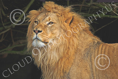 Lion 00124 An adult male lion stands before a thicket, by Peter J Mancus