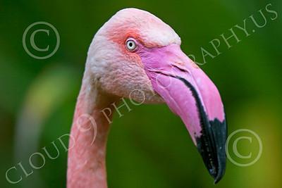 Flamingo 00008 Close up portrait of a flamingo, by Peter J Mancus