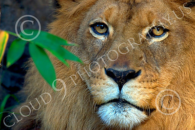Lion 00270 An adult male lion looks out from shade, by Peter J Mancus