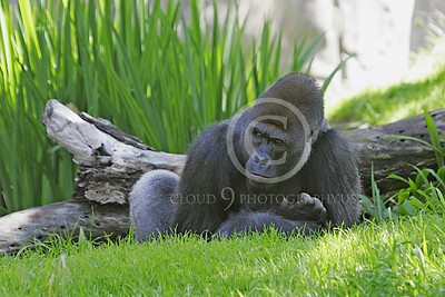 Gorilla 00058 A large male gorilla takes it easy in lush grass, by Peter J Mancus