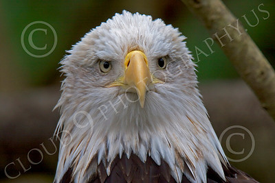 Bald Eagle 00054 Close up portarit of a mature bald eagle, by Peter J Mancus