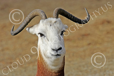 Dama (Addra) Gazelle 00002 Close up portrait of an adult dama (addra) gazelle, by Peter J Mancus