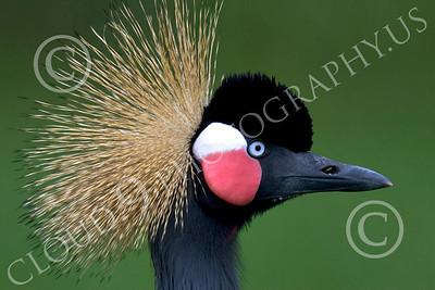 Black Crowned Crane 00005 Close up portrait of black crowned crane, by Peter J Mancus
