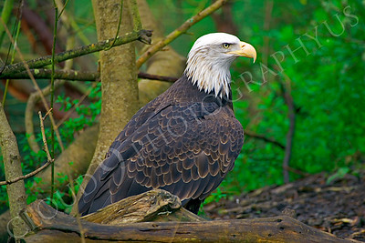 Bald eagle 00044 by Peter J Mancus