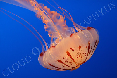 Jellyfish 00023 by Peter J Mancus