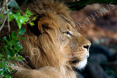 Lion 00028 Male lion by Peter J Mancus