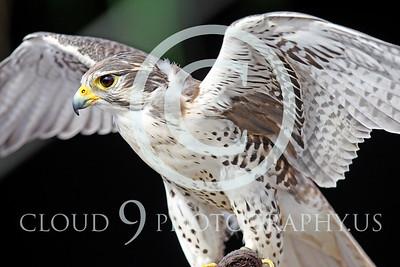 AN-Praire Falcon 00001 Praire Falcon by Peter J Mancus