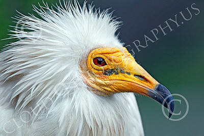 Western Egyptian Vulture 00002 A tight portrait of a western Egyptian vulture's face, by Peter J Mancus