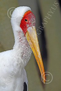 Egyptian Yellow Bill Stork 00003 An Egyptian yellow bill stork, by Peter J Mancus