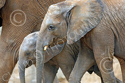 African Elephant 00005 Three generations of African elephants, by Peter J Mancus