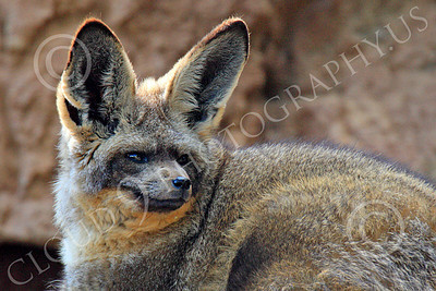 South African Bat-Eared Box 00018 Close-up portrait of an alert, reclined, south African bat-eared fox, by Peter J Mancus