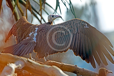Hooded Vulture 00036 A hooded vulture spreads its wings, by Peter J Mancus