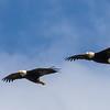Petersburg Eagles Flying in Formation