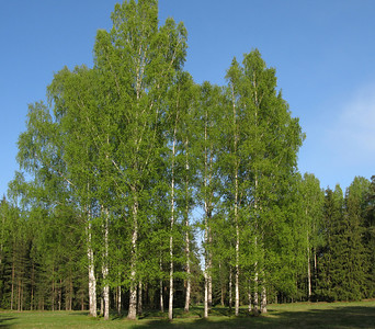 The circle of White Birches