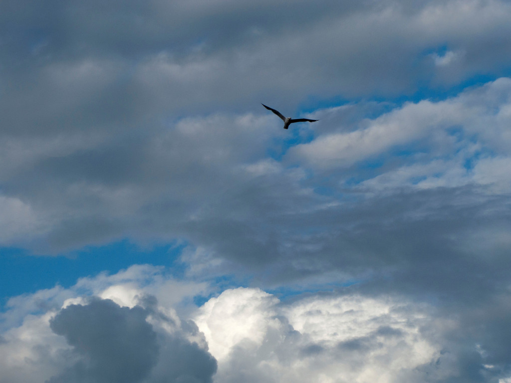 Seagull in the sky over Neva before storm.