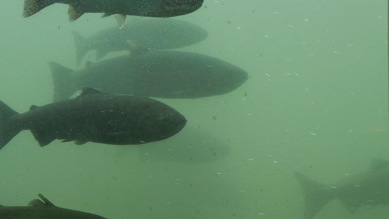 Dam Salmon CU