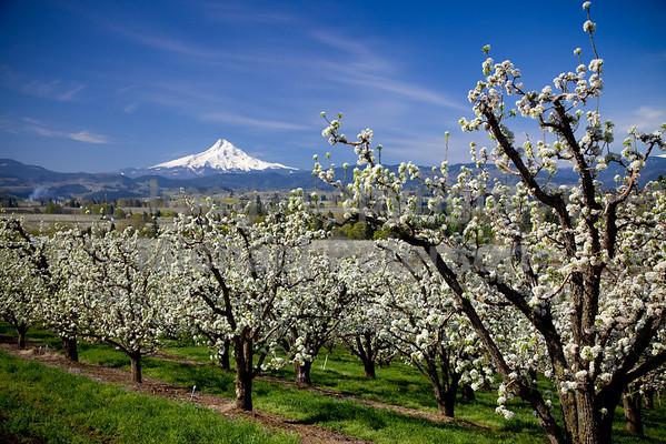 Mount Hood, Spring with fruit trees in bloom.