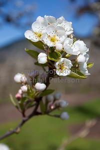 Blossom11_1001
