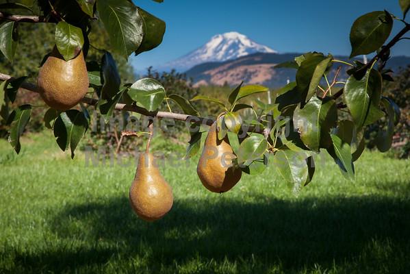 Fruit_Pears11-1003