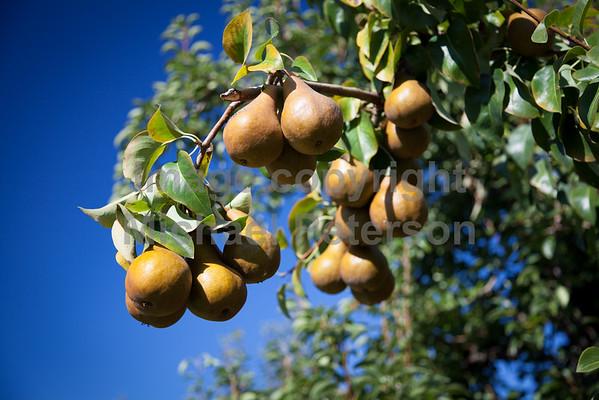 Fruit_Pears11-1001