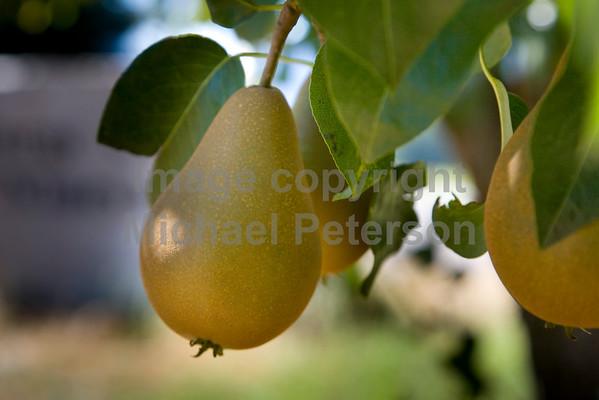 Pear08_1001