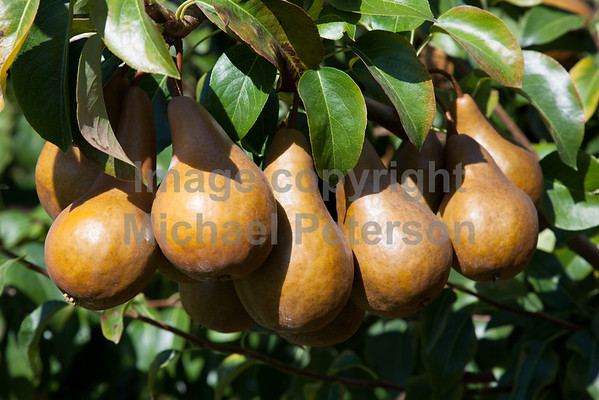 Fruit_Pears11-1002