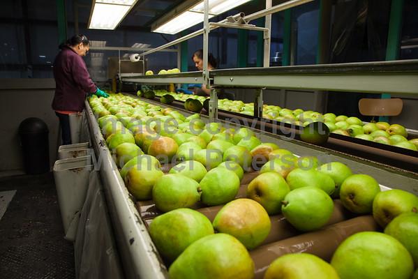 Fruit_Pears11-1005