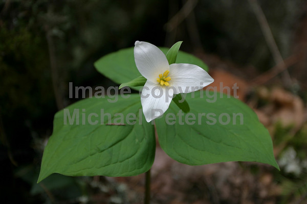 Trillium bloom on forest floor.